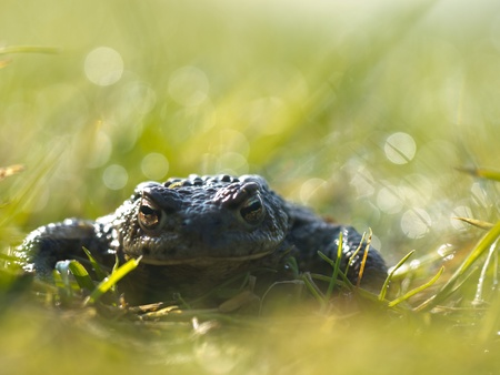 Common toad  Bufo bufo  in a field of grass with morning dew and lots of lens flare photo