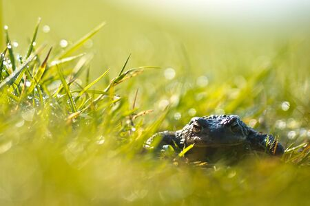 Common toad  Bufo bufo  in a field of grass with morning dew and  lens flare photo
