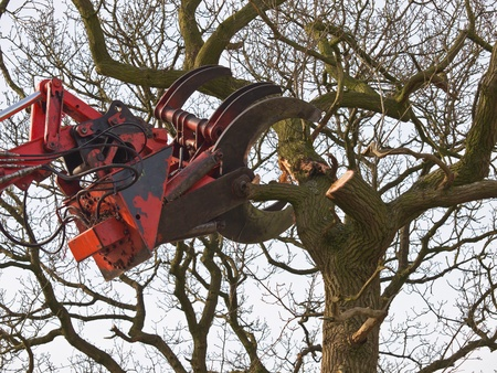 The cutting claw of a hydraulic crane is felling a tree photo