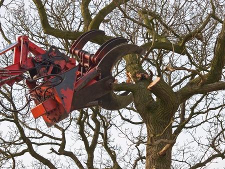 The cutting claw of a hydraulic crane is felling a tree photo