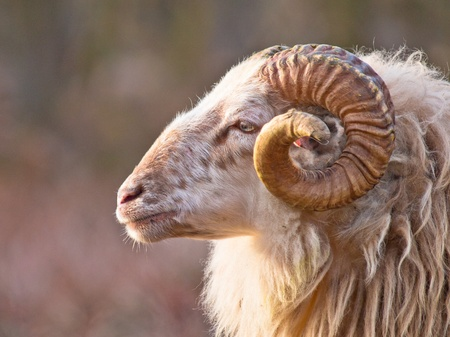 Male long-tailed sheep portrait sideview Stockfoto