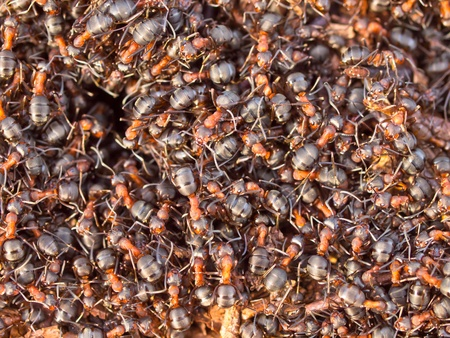 rufa: Background of a Red Ant colony (Formica rufa)