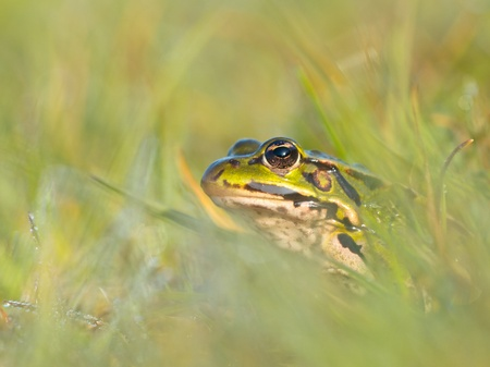 lessonae: Edible frog (Pelophylax esculentus) is peeking from grass with morning dew