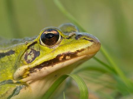 lessonae: Portrait of a rare Pool frog (Pelophylax lessonae)