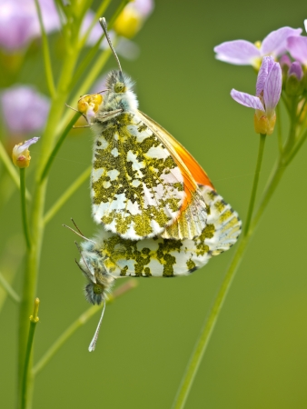 Pair of mating orange tip butterflies (Anthocharis cardamines) on cuckoo flowers photo