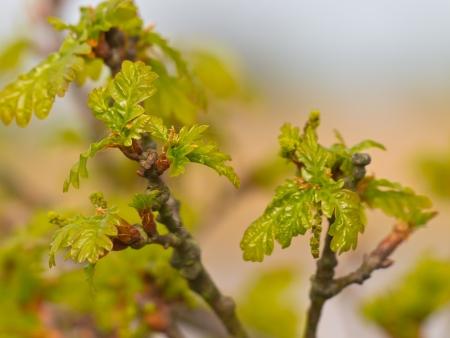 quercus robur: Fresh oak leaves (Quercus robur) are emerging in spring