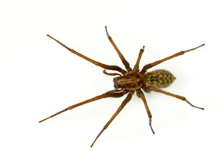 Giant house spider (Tegenaria domesticus) on a white background
