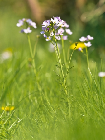 cuckoo: Close up of cuckoo flower  cardamine pratensis  in a fresh spring field