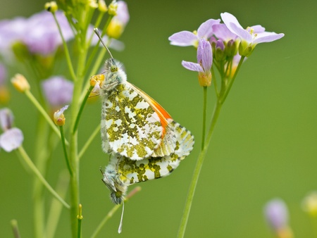 Pair of mating orange tip butterflies  Anthocharis cardamines  on cuckoo flowers photo