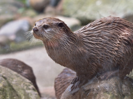 clawed: An Oriental Small Clawed Otter sitting on a rock
