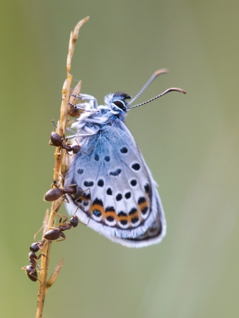 mutualism: Silver Studded Blue Butterfly (plebeius argus) is being protected by red ants (formica)