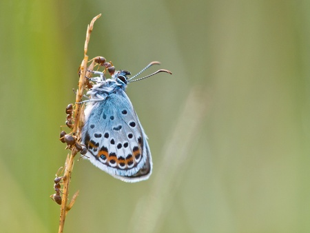 plants species: Argento Studded Blue Butterfly (plebeius argus) è protetto dalle formiche rosse (formica)