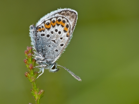 Silver Studded Blue Butterfly (plebeius argus) covered in mornig dew photo