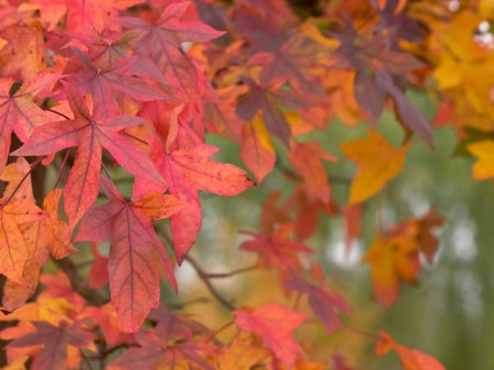 fall of leafs: Maple leafs in many colors during fall Stock Photo