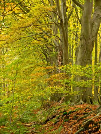 Green and yellow leaves in an autumnal beech forest photo