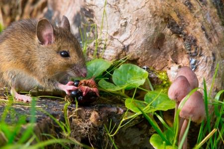 autemn scene mouse eating raspberry photo