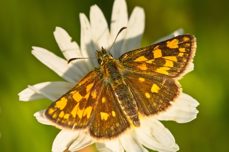 imago: chequered skipper  Carterocephalus palaemon  on a wildflower