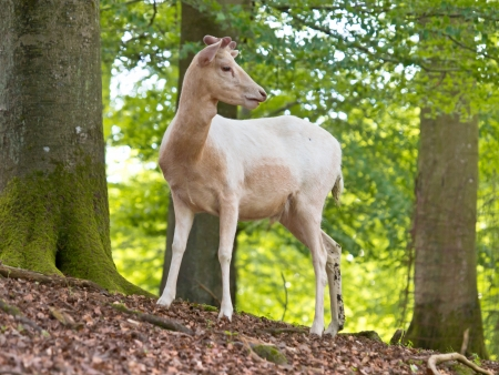Albino specimen of the Red deer (Cervus elaphus) in a forest setting Stock Photo - 16075685