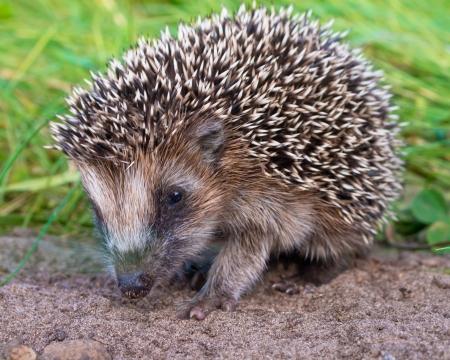 West European Hedgehog (Erinaceus, europaeus) Looking for Food photo