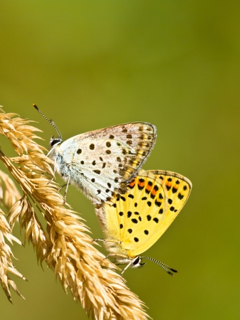 sooty: Mating Pair of Sooty Copper Butterfly (Lycaena tityrus)