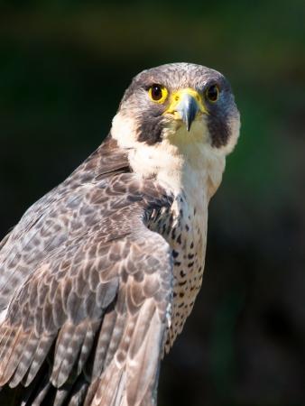 Peregrine Falcon Bird of Prey Portrait