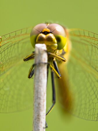vulgatum: Vagrant Darter Dragonfly (Sympetrum vulgatum) resting on a Twing with Bright Green Background Stock Photo