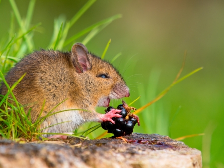 Wild Wood Mouse Taking a Bite of a Blackberry on Log Sideview Stock Photo - 16627434