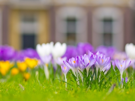 A group of violet crocus blooming in spring photo
