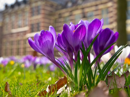 Blooming purple crocus in the garden of a museum photo