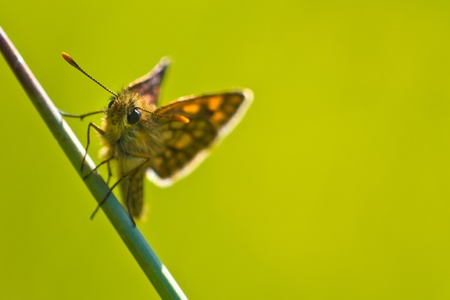 imago: back lit Chequered skipper  Carterocephalus palaemon  on a plant Stock Photo
