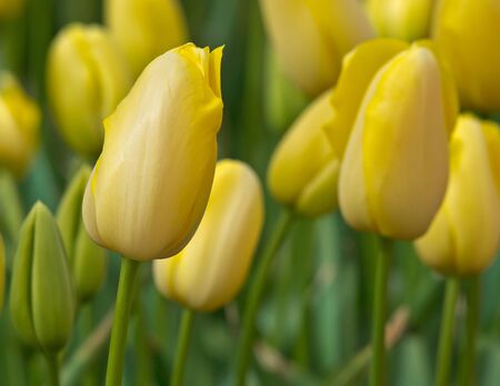 Close up of yellow tulips in a fresh garden photo