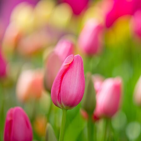 Colorful Tulips in a Flower Bed during Spring in the Keukenhof, the Netherlands photo