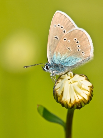 Mazarine Blue Butterfly (polyommatus semiargus) on a flower photo