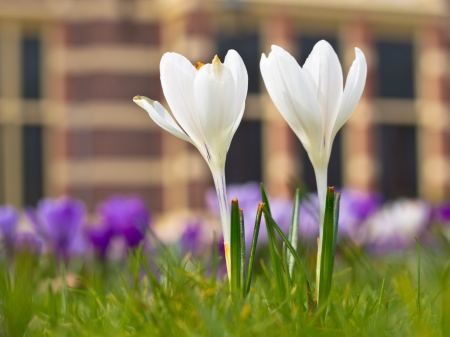 Two blooming white crocus in a park in europe photo