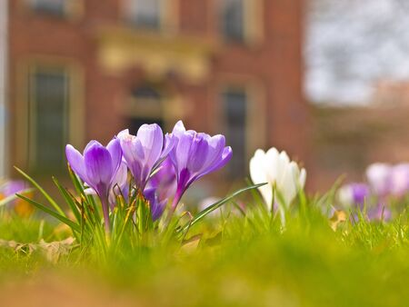 Violet blooming crocus in a garden field photo
