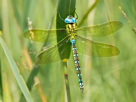 早朝にその翼太陽地球温暖化グリーン ホーカー トンボ (Aeshna viridis)
