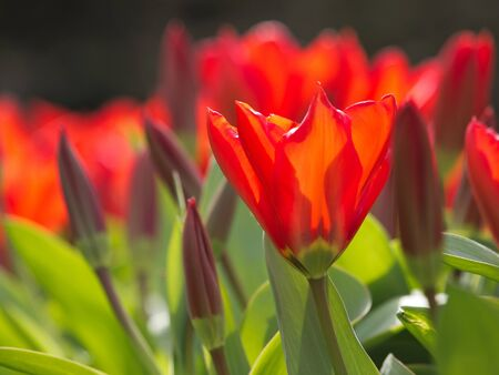 Close up of blooming tulips in the Netherlands photo