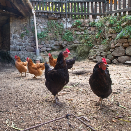 Group of chicken in an old hen house on the countryside of France photo