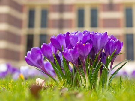 A group of purple blooming crocus photo