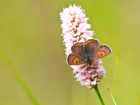 lycaeninae: Two male Violet Copper Butterfly (Lycaena helle) with iridescent blue on their wings