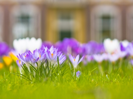 Violet blooming crocus in a field in spring photo