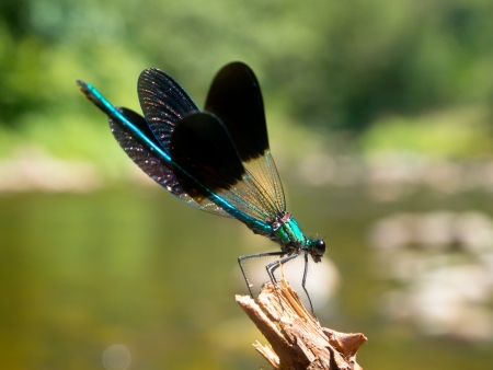 damselfly: Closeup of a Male Banded Demoiselle Dragonfly (Calopteryx splendens) on a twig in its Natural River Habitat Stock Photo