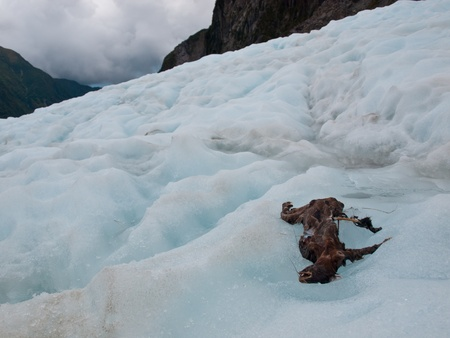 Dead animal on the Franz josef Glacier, West coast, New Zealand photo