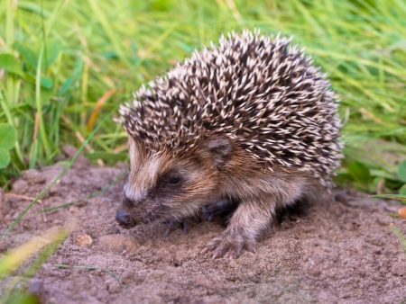 hibernate: West European Hedgehog (Erinaceus, europaeus) Looking for Food