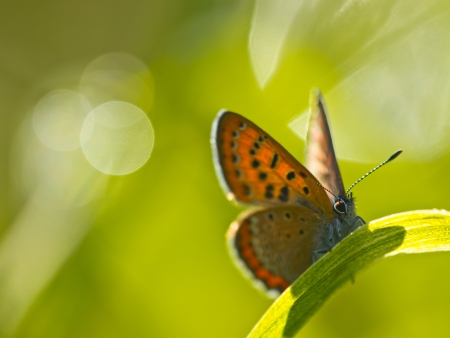 lycaeninae: Violet Copper Butterfly (Lycaena helle) resting grass