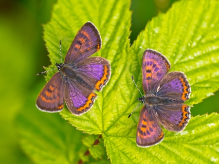 Two male Violet Copper Butterfly (Lycaena helle) with iridescent blue on their wings Stock Photo - 18818685