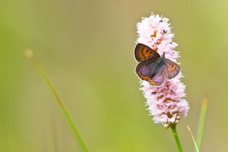 virgaureae: Violet Copper Butterfly (Lycaena helle) resting on snakeweed