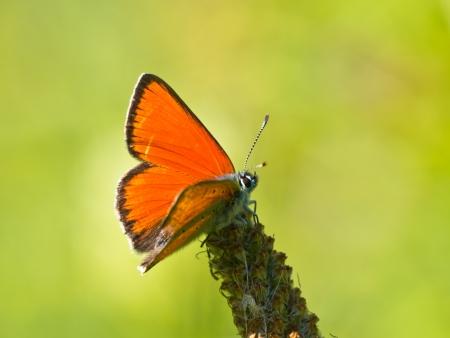Beautiful Wild Scarce Copper Butterfly (Lycaena virgaureae) - Feeding on Flowers