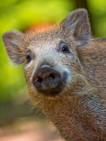 Young wild boar (Sus scrofa) looking in the camera Stock Photo