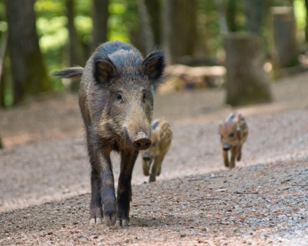 clearing: Wild boar with young (Sus scrofa) in natural forest habitat Stock Photo